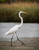 A heron strolls along water's edge at Sandy Hook, New Jersey part of Gateway National Recreation Area