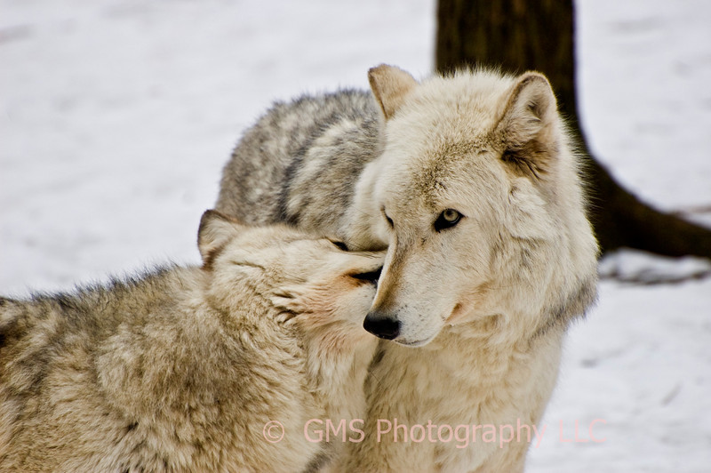 Affectionate Wolves  #1