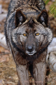 Wolf stares into lens at Lakota Wolf Preserve in Colombia, New Jersey