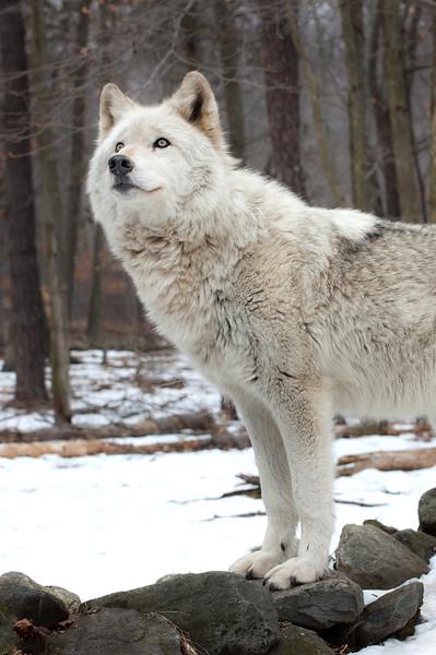 A Wolfs Modeling Pose
