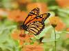 A butterfly feeds on local flower at Deep Cut Park in Middletown, New Jersey.