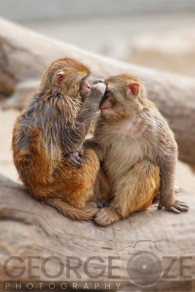 A Pair of Rhesus Monkeys Interacting on a Tree, Quingling Mountain Zoo, Xian, Shaanxi, China