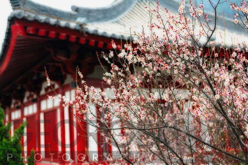 Japanese Plum Tree Blossoming at the Huaqing Hot Springs, Lintong County, Shaanxi Provence, China