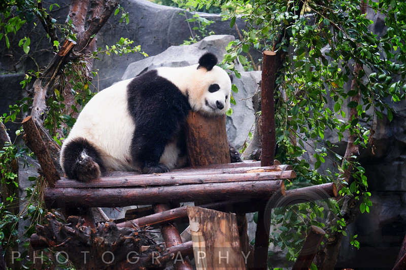 A Giant Panda Bear Resting on a Tree Perch, Chengdu, Sechuan, China