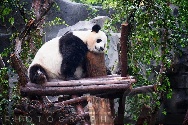 A Giant Panda Bear Resting on a Tree Perch, Chengdu, Sechuan, China