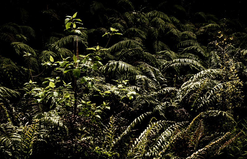 Ferns are the official plant of New Zealand