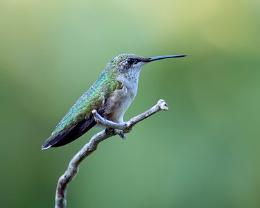 Rubythroated Hummingbird_01