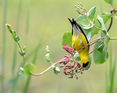 American Goldfinch_01