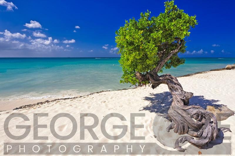 Divi Tree on a Caribbean Beach,  Aruba, Dutch Antilles