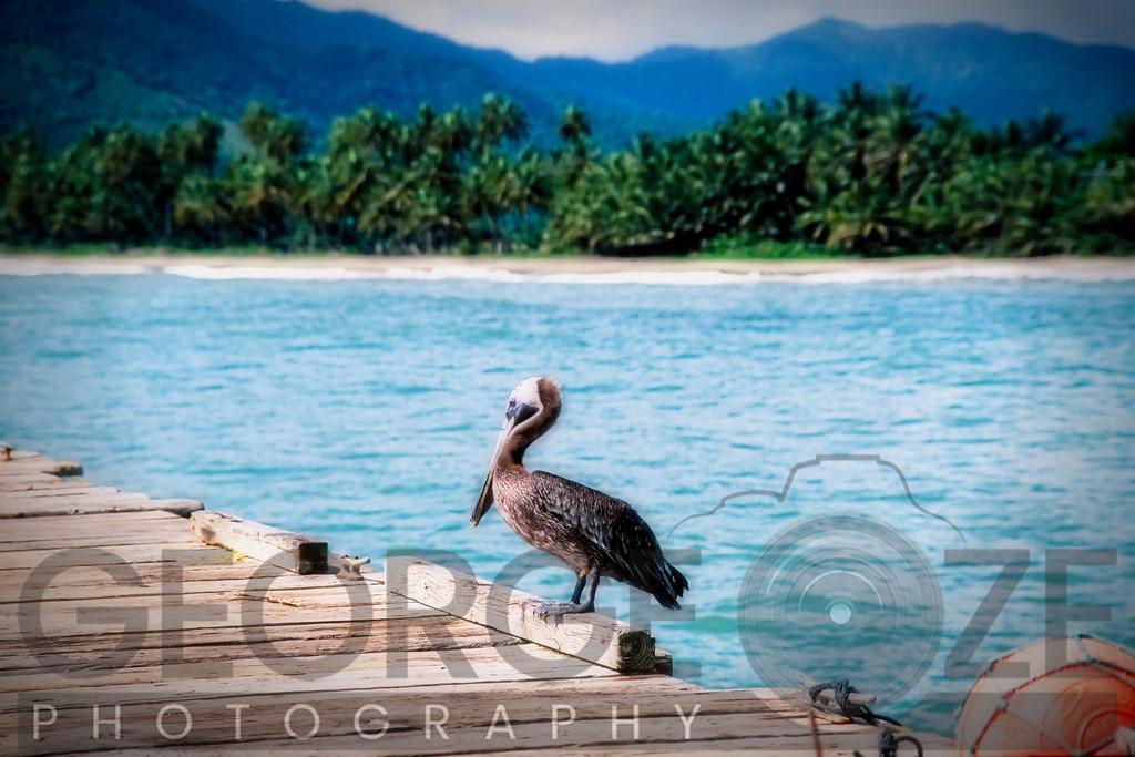 Pelican on a Pier, Maunabo, Puerto Rico