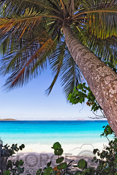 Leaning Palm Tree ona Caribbean Beach, Trunk Bay, St John, US Virgin Islands