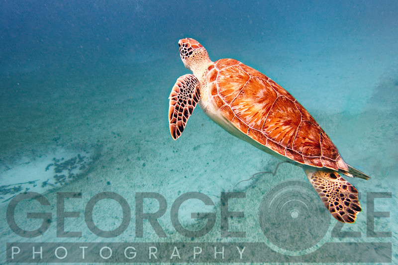 Close Up View of a Young Green Turtle Swimming Underwater