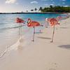 Caribbean Beach with Pink Flamingos, Aruba