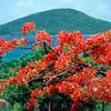 Blooming Flamboyan Tree Delonix Regia), Tamarind Bay, Culebra Island, Puerto Rico