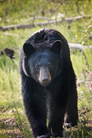 Bears of Fort Nelson
