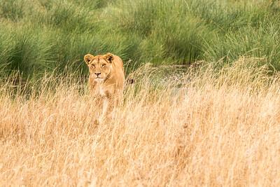 Tanzania-Lioness-prowling