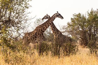 Tanzania-cross-necked-giraffes