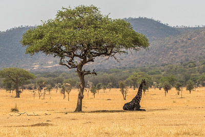 Giraffe_Sitting_Under_Tree