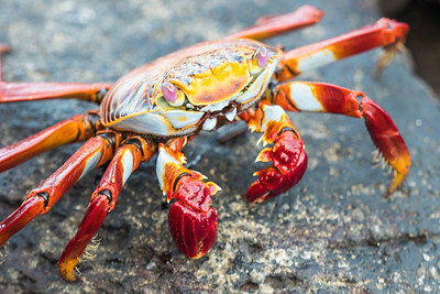 Galapagos-crab