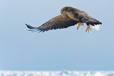 Haliaeetus albicilla, White Tailed Eagle, Rausu Japan. Swooping in on fish laying on the ice near fishing boats, these eagles compete successfully with the larger but less aggressive Steller's Sea Eagles that also haunt these waters.