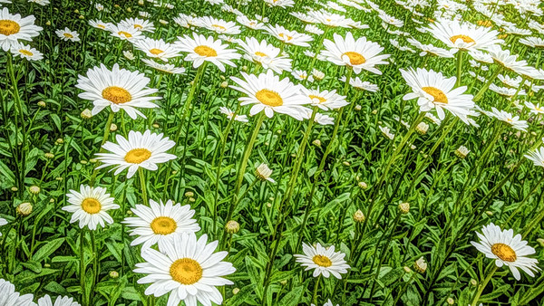Daisies in the Smoky Mountains