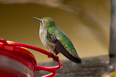 Backyard_Birds-Mar2012-33.jpg