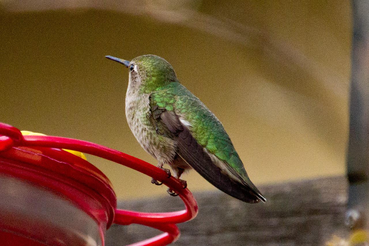 Backyard_Birds-Mar2012-33.jpg