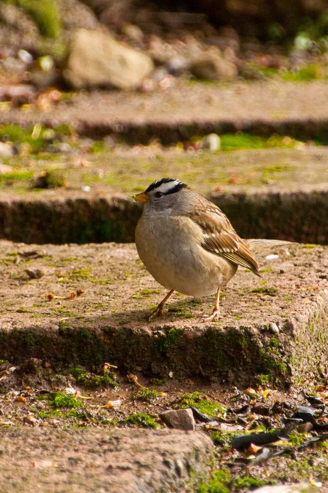 Backyard_Birds-Mar2012-21.jpg