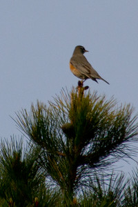 Backyard_Birds-Mar2012-34.jpg