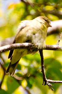 Backyard_Birds-Mar2012-25.jpg