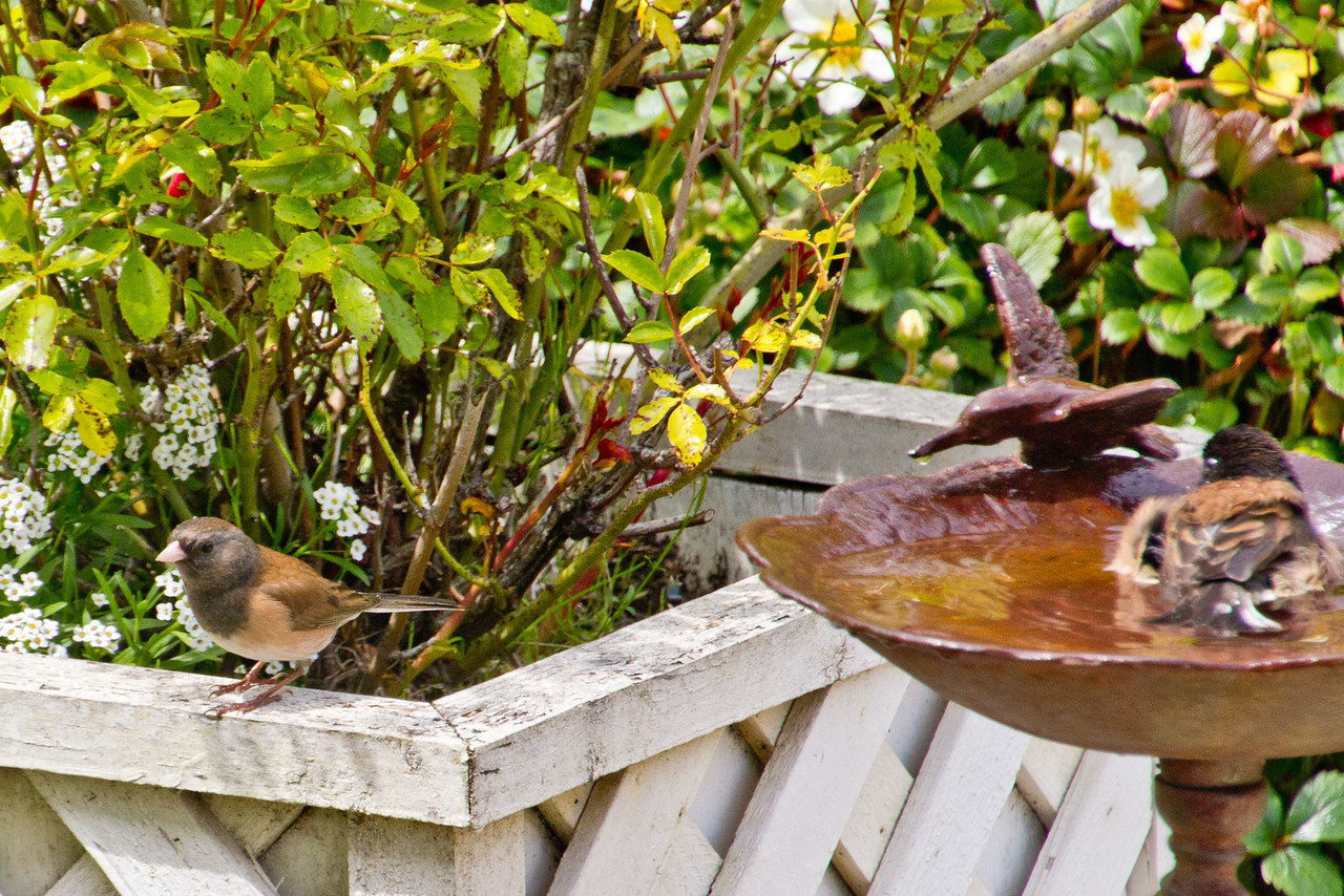 Backyard_Birds-Mar2012-45.jpg