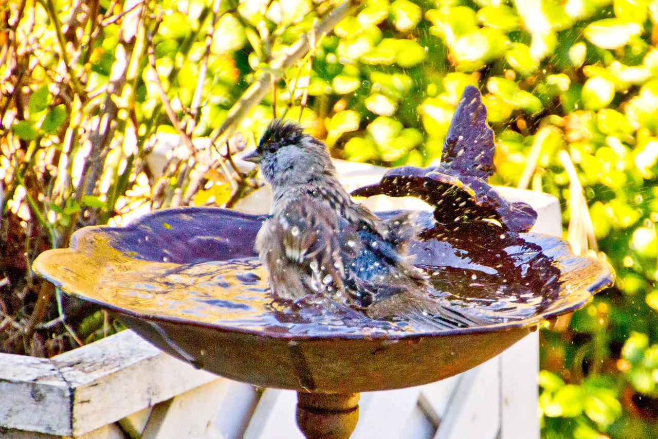 Backyard_Birds-Mar2012-19.jpg