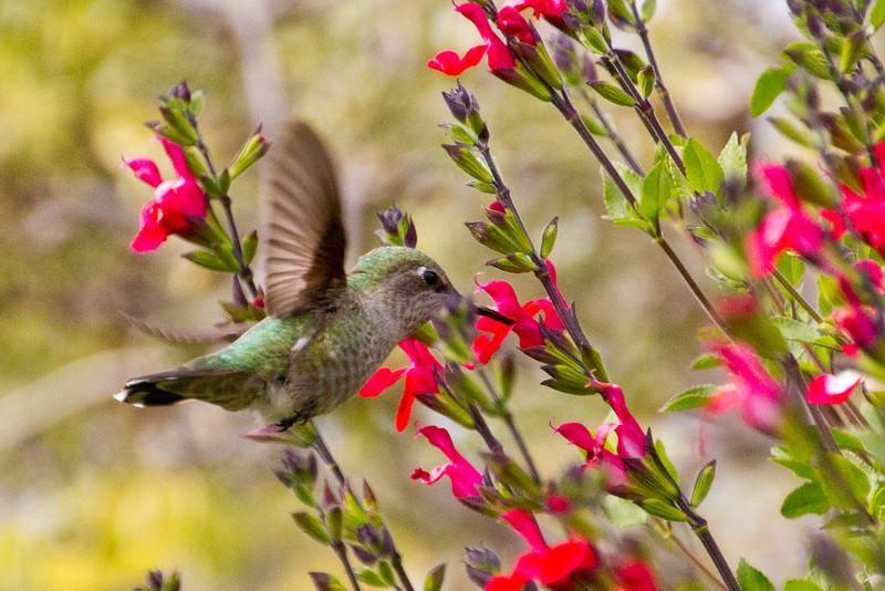 Backyard_Birds-Mar2012-39.jpg