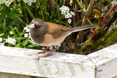 Backyard_Birds-Mar2012-44.jpg