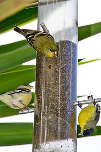 Backyard_Birds-Mar2012-11.jpg