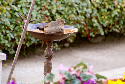 Backyard_Birds-14.jpg