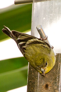 Backyard_Birds-Mar2012-10.jpg