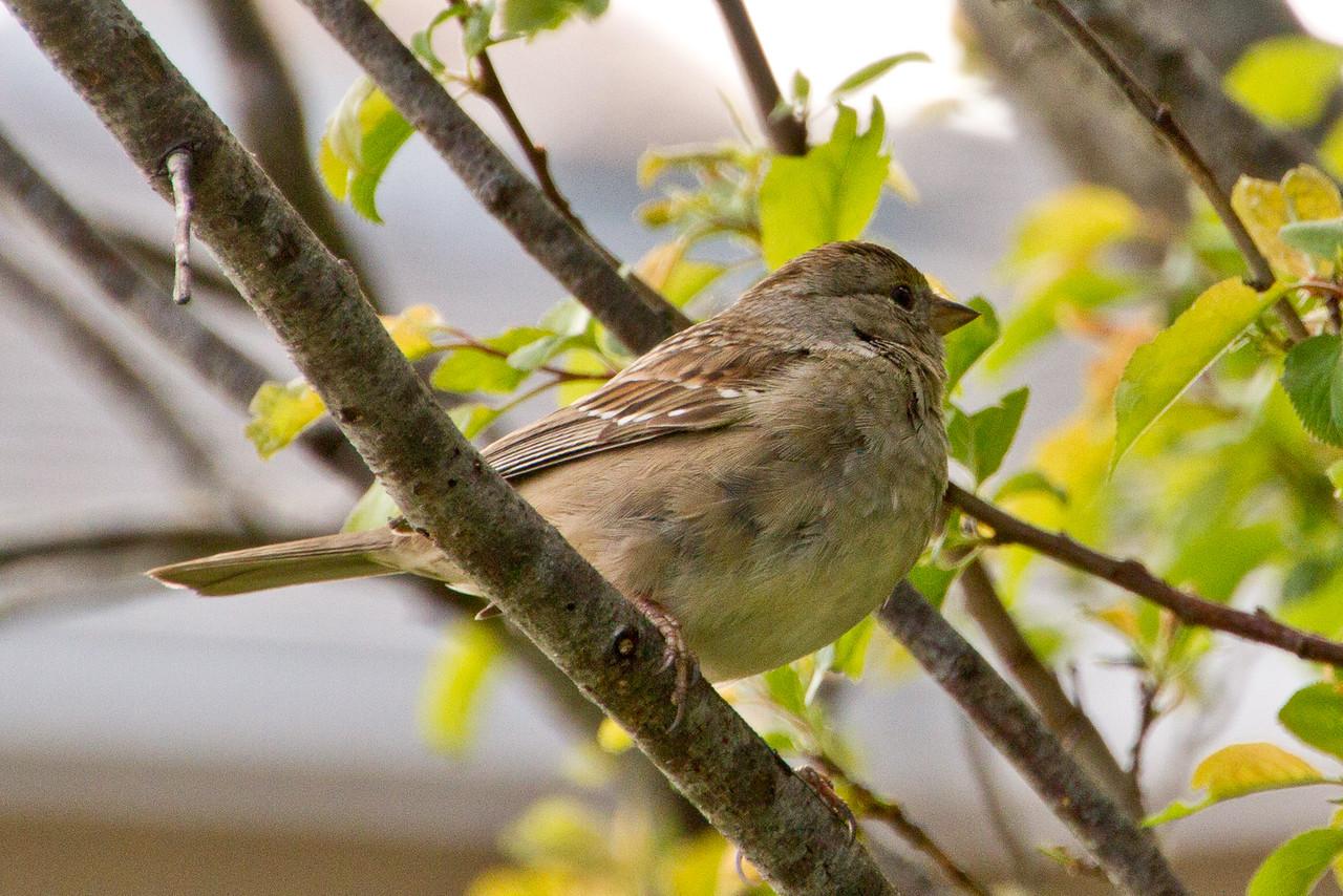 Backyard_Birds-Mar2012-24.jpg