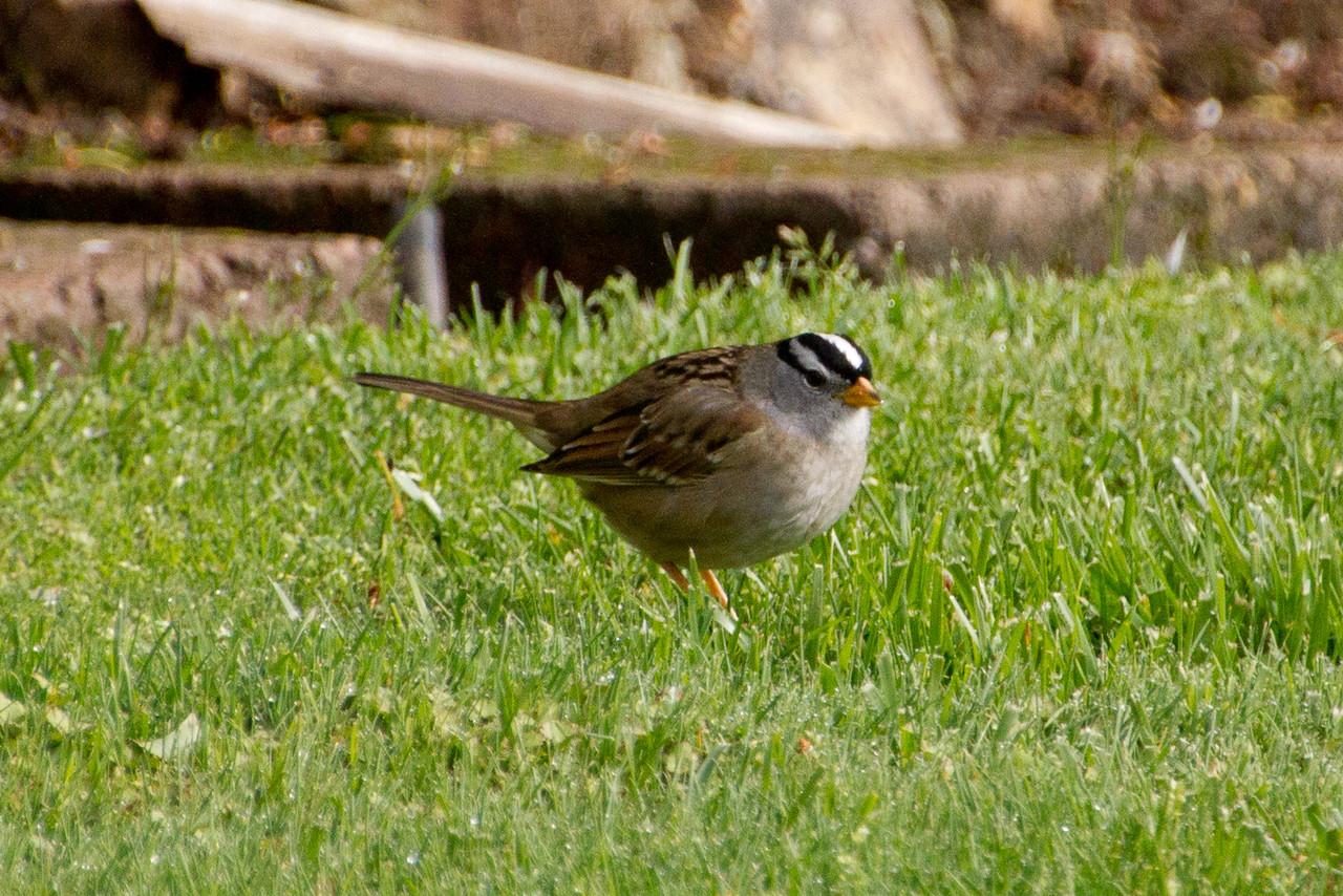 Backyard_Birds-Mar2012-28.jpg