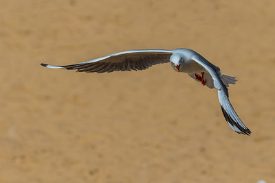 Silver Gull in flight 9118