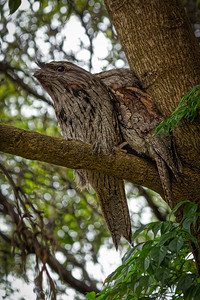 Tawny Frogmouths, mating pair 3022