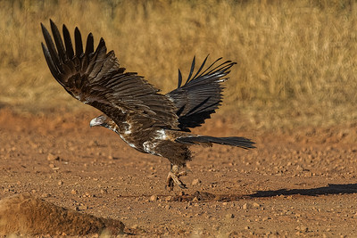 Wedge-tailed Eagle 0880