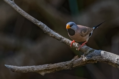 Long-tailed Finch 0416