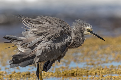White Faced Heron 4371