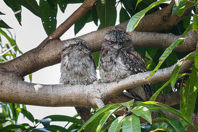 Tawny Frogmouths 1693