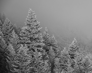 Hoarfrost on Fir Trees, Sun Valley, Idaho