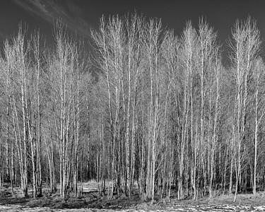 December Aspen Grove