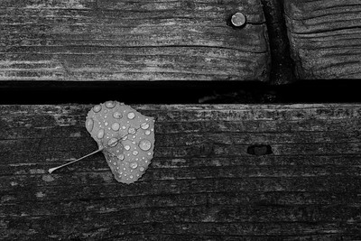 Fall Rain on Aspen Leaf