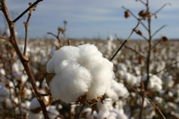 Cotton Boll 11