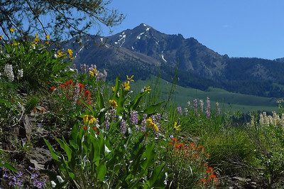 Wildflowers of the Boulder Mountains of Idaho